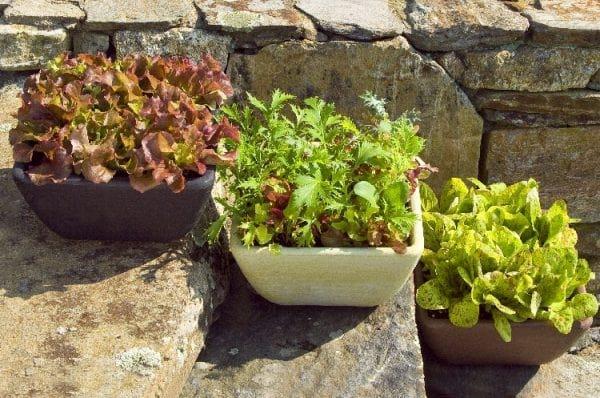 salades qui poussent dans un pot