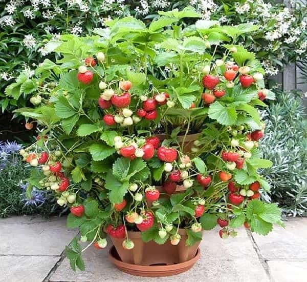 fraises qui poussent dans un pot en étage