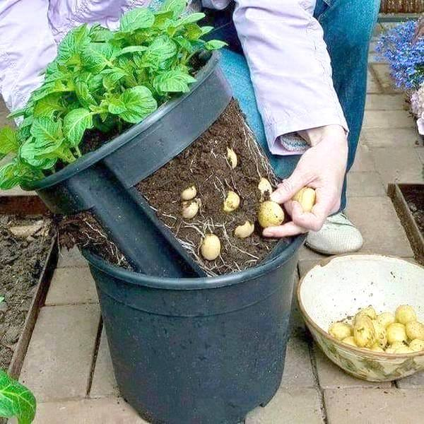 pot spécial pour cultiver les pommes de terre