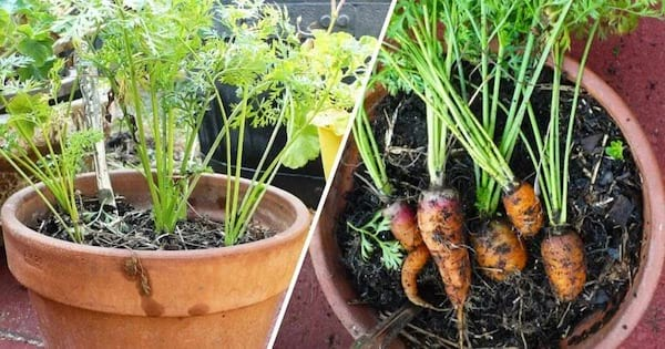 Comment faire pousser des carottes en pots