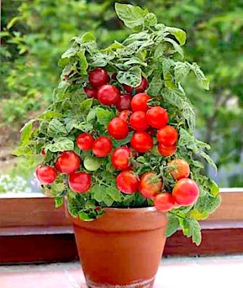 Un pot de fleurs avec des belles tomates qui ont poussé