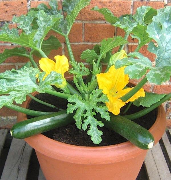 Des belles courgettes vertes qui ont poussé dans un pot