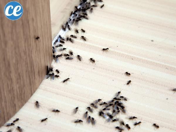 repousser les fourmis avec du vinaigre blanc