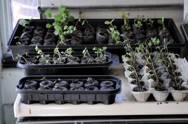 Plantes qui poussent dans des boîtes d'oeufs