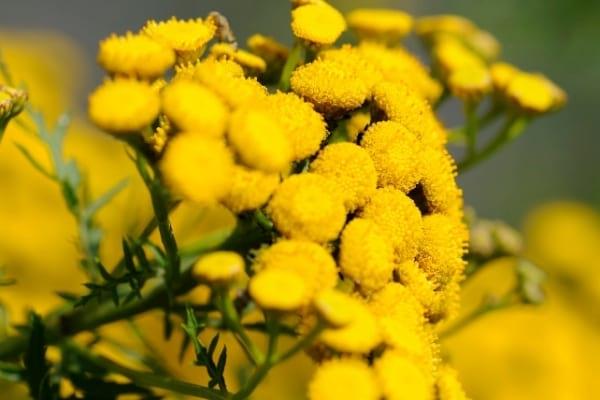 Fleurs de tanaisie dans la nature pour faire fuir les mouches