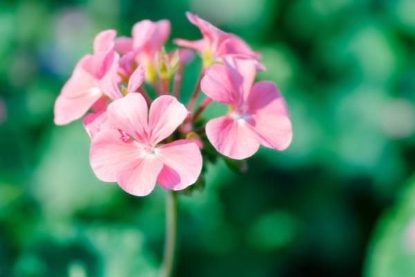 Une fleur de géranium pour soulager les piqures d'insectes
