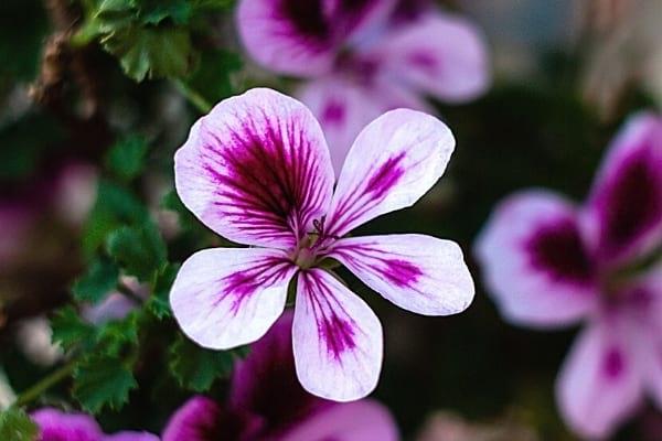 Fleur pelargonium citrosum dans la nature pour faire fuir les mouches