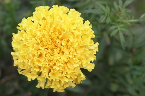 Fleur oeillet d'inde dans la nature pour faire fuir les mouches