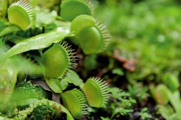 Des fleurs de Dionée dans la nature pour faire fuir les mouches