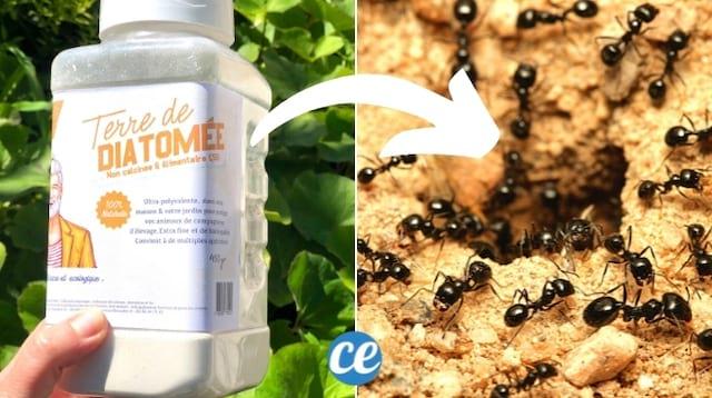 Une boîte de terre de diatomée pour stopper une invasion de fourmis