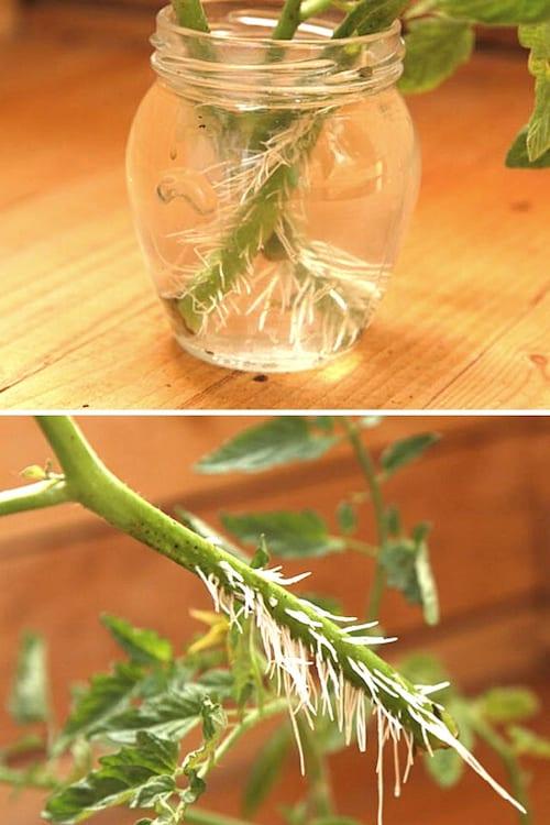Des boutures de tomates mises dans un bocal plein d'eau qui ont fait des racines