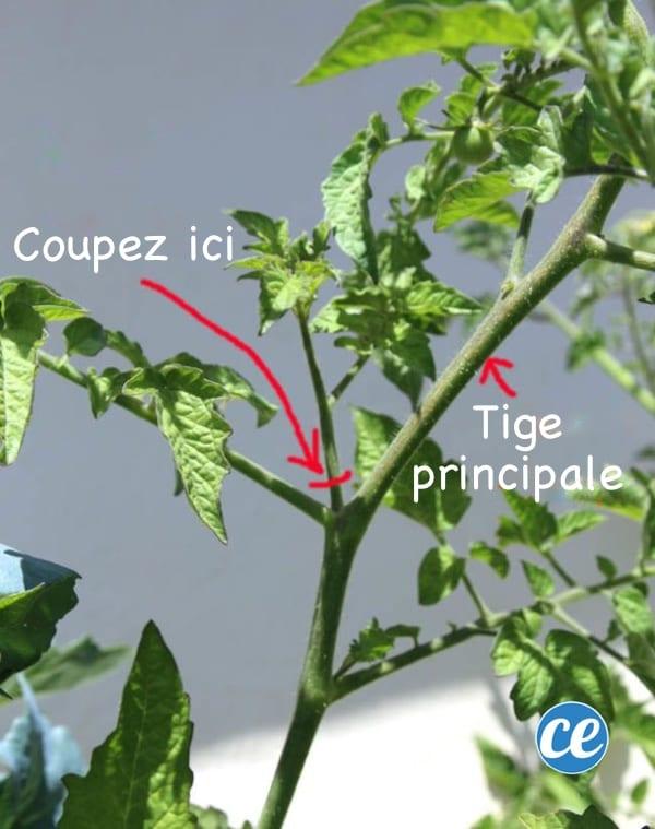 Tuto pour expliquer comment bouturer une tomate