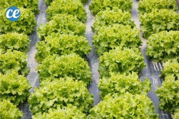 Le film de paillage en plastique noir empêche les mauvaises herbes de pousser.