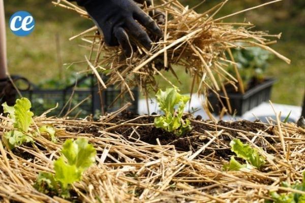 Le foin et la paille de céréales aident à protéger les plantes de votre potager.