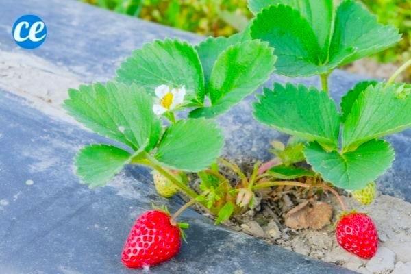 Le film de paillage en plastique noir évite la pourriture des fraises et autres fruits des plantes grimpantes.