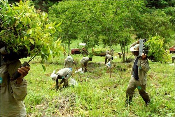 Des hommes portent de petits arbres pour les replanter