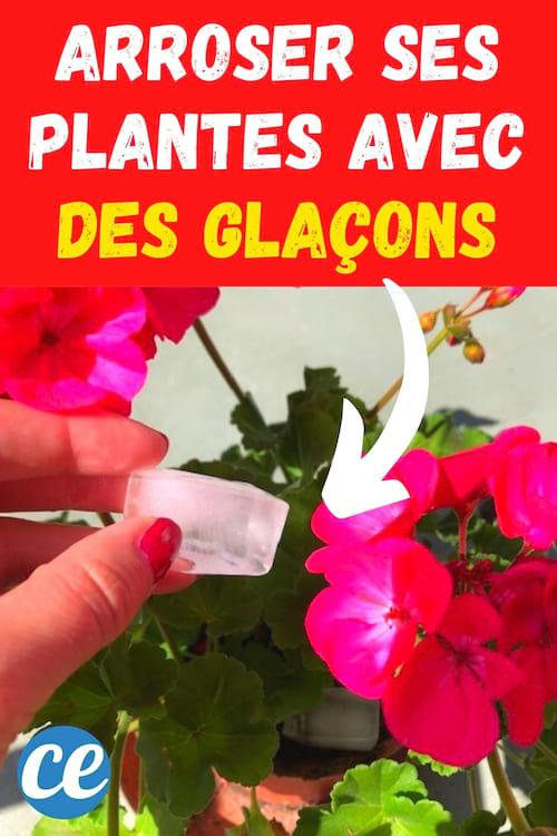 4 Bonnes Raisons d'Arroser vos Plantes Avec des Glaçons.