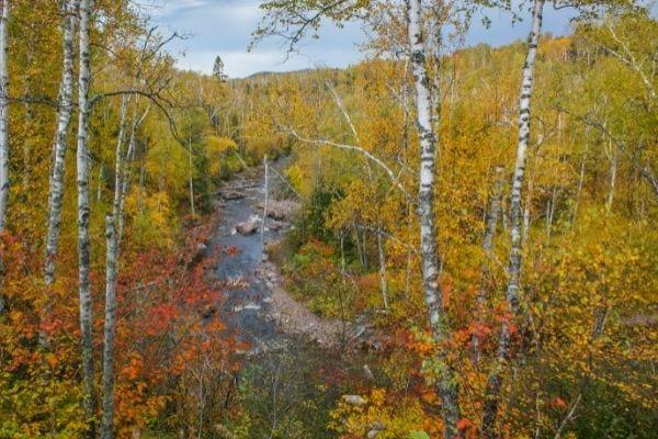 des bouleaux noirs en automne devant une rivière