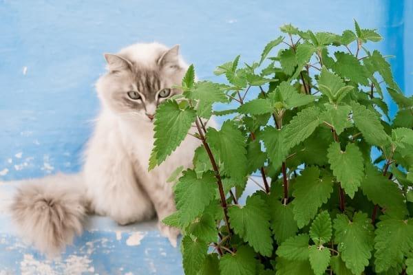 chat avec de l'herbe à chats