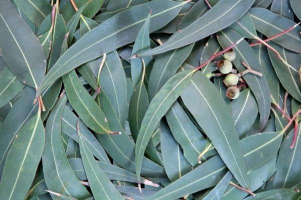 feuilles d'eucalyptus citronné contre les moustiques