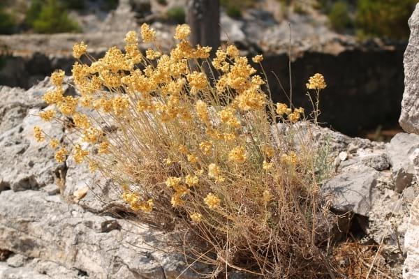 fleurs d'immortelles jaunes sur une falaise