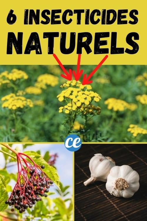 6 décoctions de plantes pour se débarrasser des pucerons naturellement