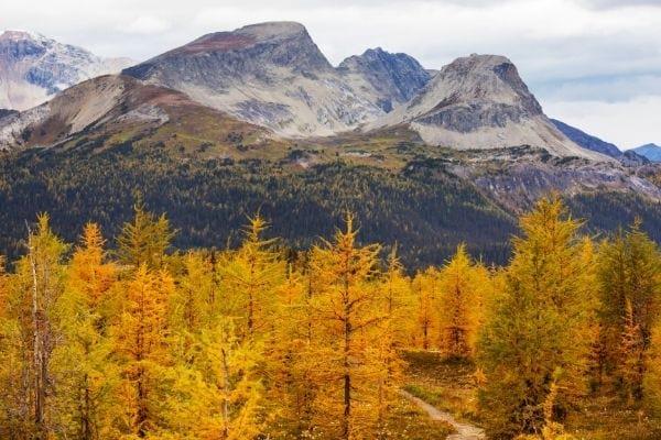 mélèze jaune en automne