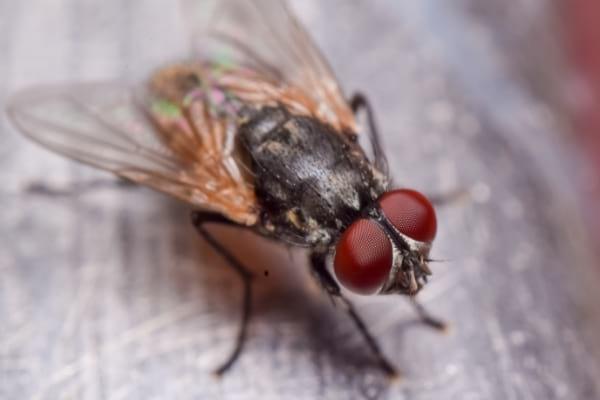 Une mouche domestique posée