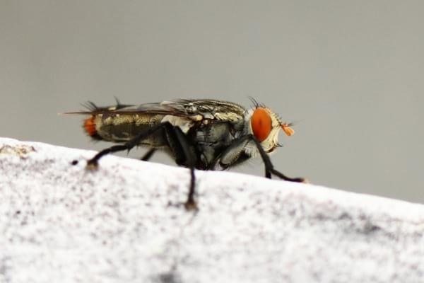 Une mouche du grenier posée