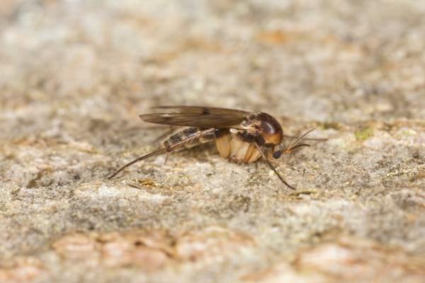 Une mouche à champignon posée