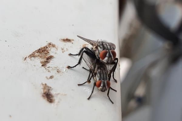 2 mouches qui se reproduisent