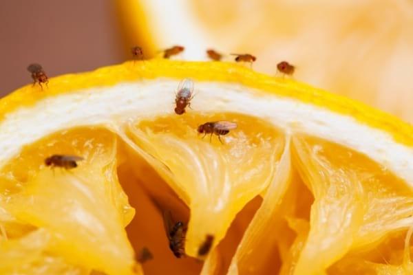 Des mouches à fruits posées sur un fruit pourrie
