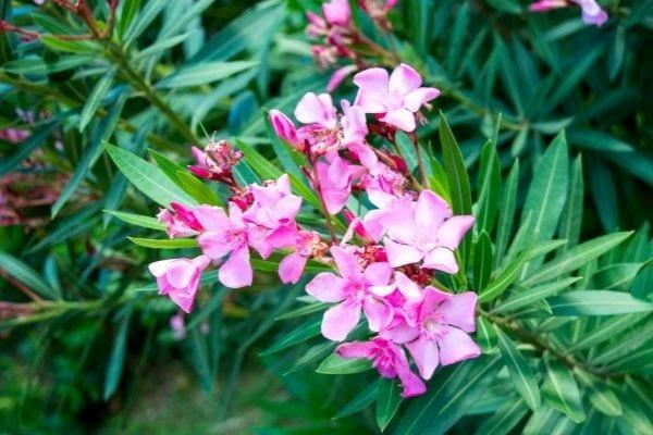 fleur de laurier rose