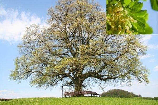 très gros tilleul dans un champ, arbre à croissance rapide