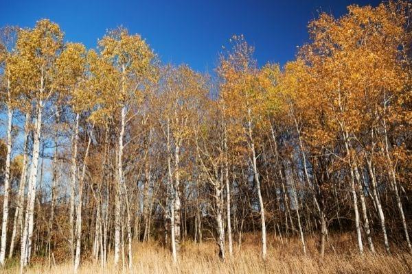 forêt de trembles