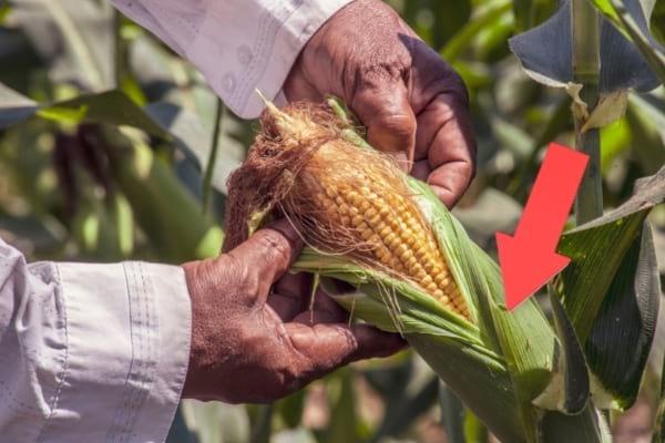 feuille cosse autour de l'épi de maïs