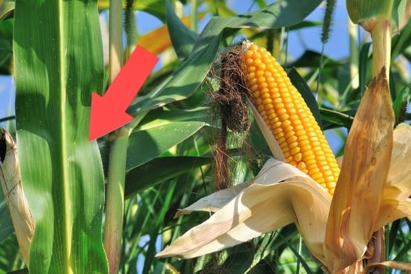 feuille verte épi de maïs