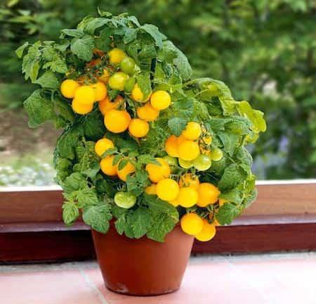 faire pousser tomates en pot