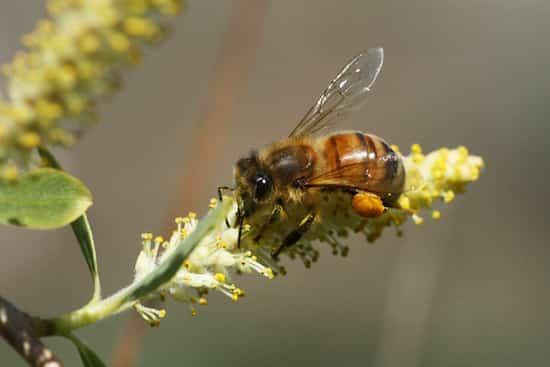 abeille utile pollen jardin