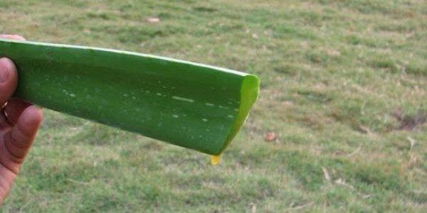 Vous pouvez cultiver l'Aloe vera dans votre jardin.