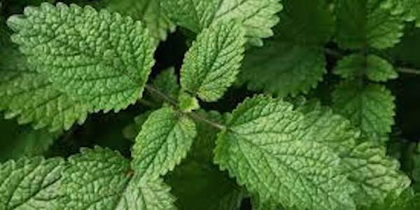 11 Plantes Anti-Moustique Que Vous Devriez Avoir Chez Vous.