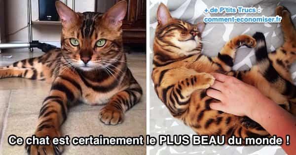 magnifique chat race bengal