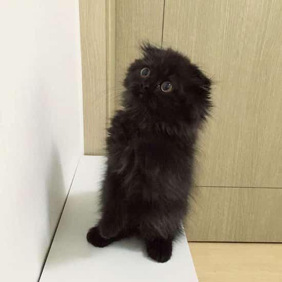Voici gimo le chat avec les plus gros yeux que vous n 39 avez jamais vus - Photo chat mignon ...