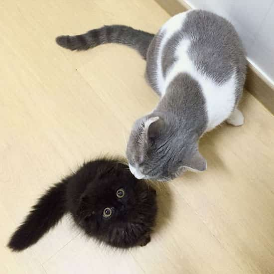 chat noir poils longs et chat gris et blanc