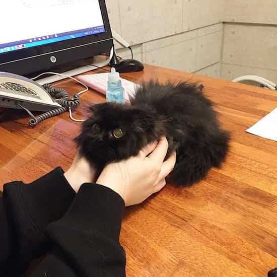 chat calin sur bureau