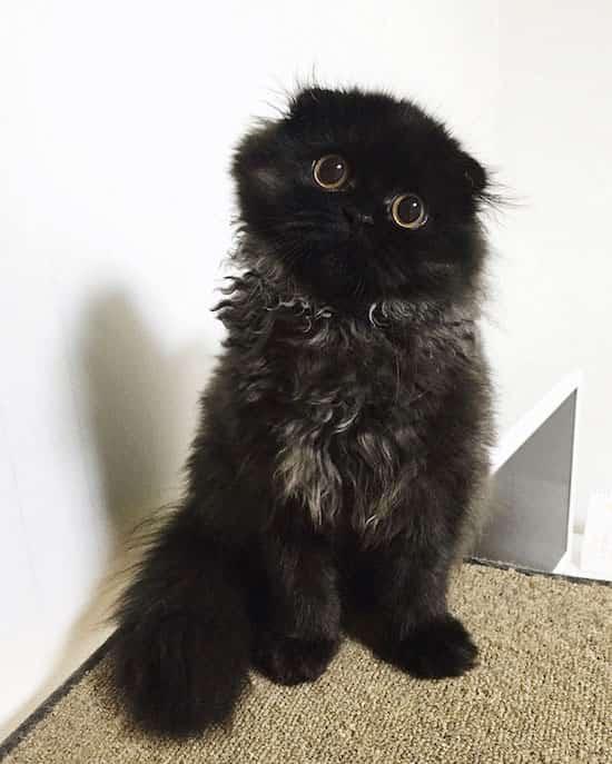 bouille chat noir scottish petite oreille