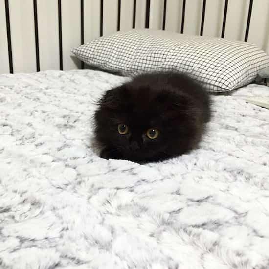 gros yeux jaune chat sur lit