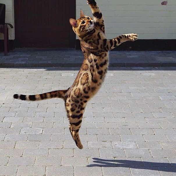 chat qui saute pelage tacheté