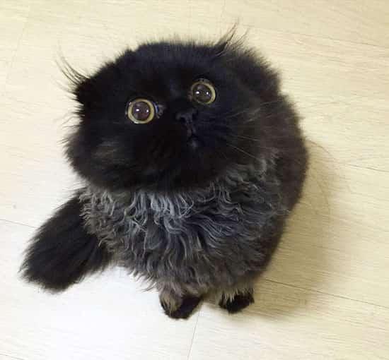 chat noir scottish yeux jaunes