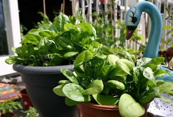 cultiver épinard en pot